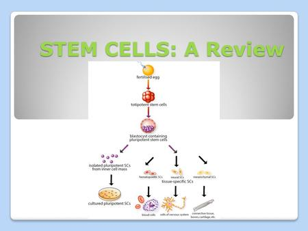 STEM CELLS: A Review. Potency TOTIPOTENT – cells that can become any type of cell - Ex. Embryonic SC (ESC) PLURIPOTENT – cells that can become almost.