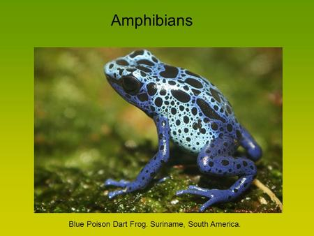 Amphibians Blue Poison Dart Frog. Suriname, South America.