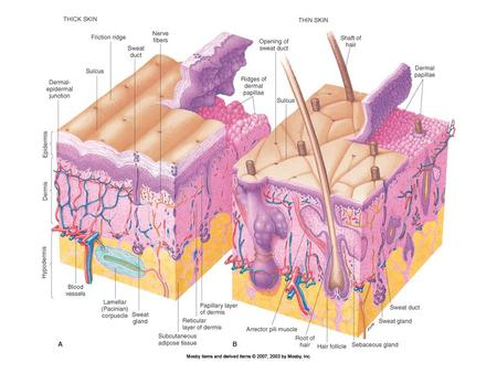 Structure of the Skin Epidermal growth and repair –Turnover or regeneration time refers to time required for epidermal cells to form in the stratum basale.