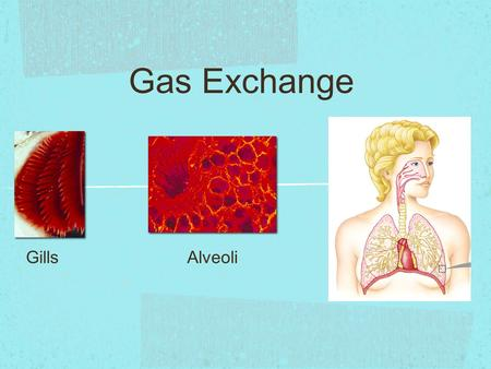 Gas Exchange GillsAlveoli.  Need O 2 (IN)  for cellular respiration  to make ATP  Need CO 2 (OUT)  waste product from cellular respiration Why do.