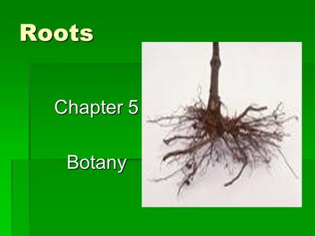 Roots Chapter 5 Botany. How Roots Develop  Seed germinates into radicle  From radicle ( immature plantlet)  Forms first root  Becomes thick taproot.