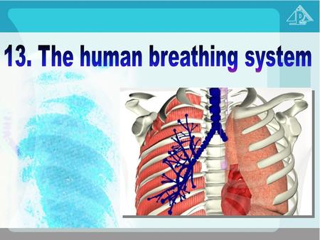 13.1 Gaseous exchange 13.2 The general plan of the human breathing system 13.3 The process of gaseous exchange in the alveoli 13.4 The mechanism ventilation.
