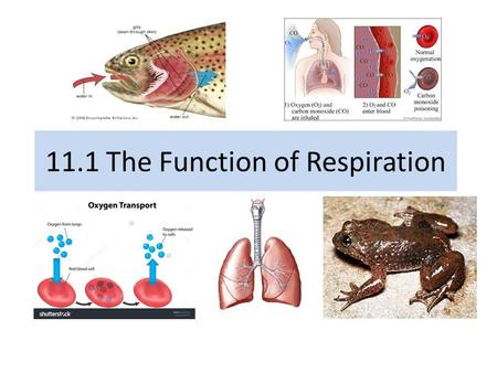 11.1 The Function of Respiration. Agenda Lesson 11.1 The Function of Respiration Read p.442-449 Vocabulary Learning Check SG 166 # 1-3, SG 167 #1-3.