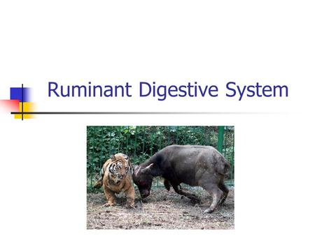 Ruminant Digestive System. Ruminants 2.8 billion domesticated ruminants Cattle, sheep, deer, elk, bison Pregastric fermentation Ability to chew cud at.