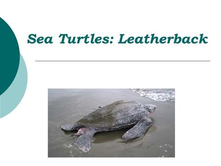 Sea Turtles: Leatherback. Sea Turtles  Seven types of sea turtles:  Loggerhead, Kemp's Ridley, Olive Ridley  Green, Hawksbill, Flatback  Six of these.