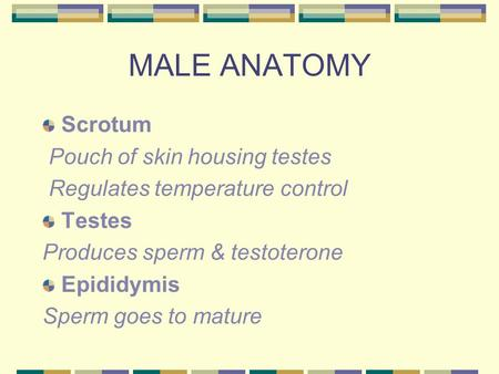 MALE ANATOMY Scrotum Pouch of skin housing testes Regulates temperature control Testes Produces sperm & testoterone Epididymis Sperm goes to mature.