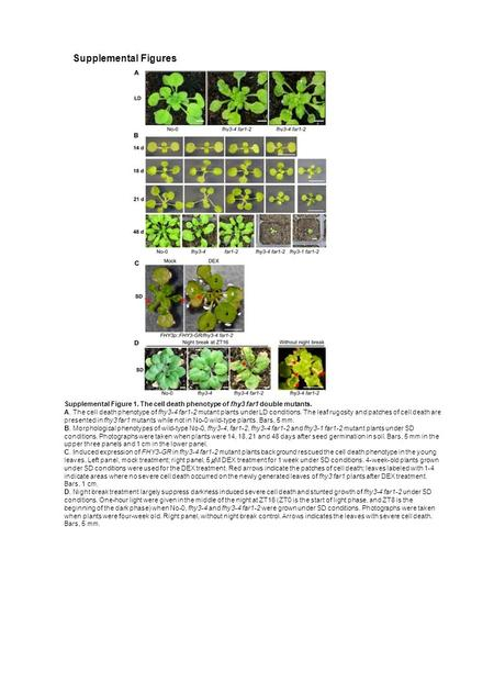 Supplemental Figure 1. The cell death phenotype of fhy3 far1 double mutants. A. The cell death phenotype of fhy3-4 far1-2 mutant plants under LD conditions.