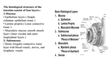The histological structure of the intestine consist of four layers:-