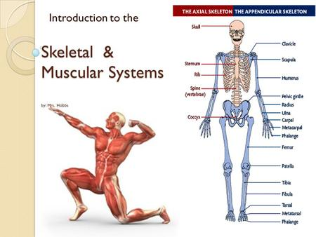 Introduction to the Skeletal & Muscular Systems by: Mrs. Hobbs.
