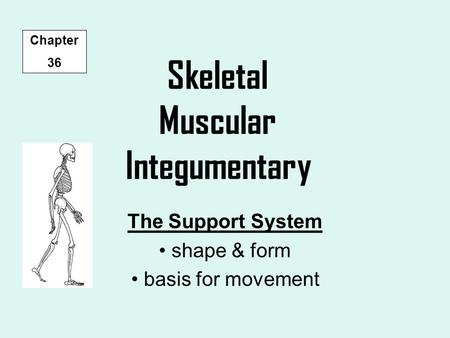 Skeletal Muscular Integumentary The Support System shape & form basis for movement Chapter 36.
