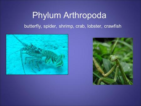 Phylum Arthropoda butterfly, spider, shrimp, crab, lobster, crawfish.