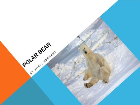 POLAR BEAR BY ANGIL SERRANO. ANIMAL GROUP A polar bear is a mammal It has fur. It gives birth to live young.