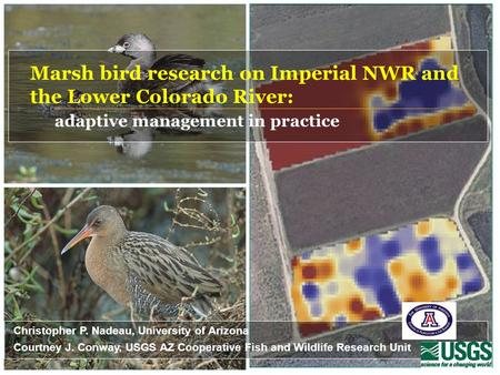 Marsh bird research on Imperial NWR and the Lower Colorado River: adaptive management in practice Christopher P. Nadeau, University of Arizona Courtney.