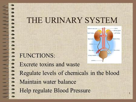 THE URINARY SYSTEM FUNCTIONS: Excrete toxins and waste Regulate levels of chemicals in the blood Maintain water balance Help regulate Blood Pressure 1.