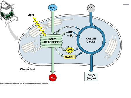 Figure 10.4 An overview of photosynthesis: cooperation of the light reactions and the Calvin cycle (Layer 3)