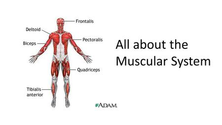 All about the Muscular System.