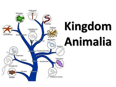 Kingdom Animalia. What are the characteristics of all of the members of Kingdom Animalia? Eukaryotic cells Multicellular Are Ingestive heterotrophs –