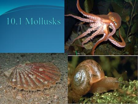 POINT > List characteristics of mollusks POINT > Identify 3 classes of mollusks POINT > Describe gastropods POINT > Describe bivalves POINT > Describe.