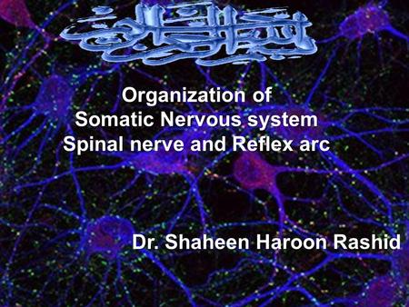 Organization of Somatic Nervous system Spinal nerve and Reflex arc Dr. Shaheen Haroon Rashid.