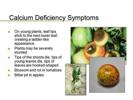 Calcium Deficiency Symptoms On young plants, leaf tips stick to the next lower leaf, creating a ladder-like appearance On young plants, leaf tips stick.