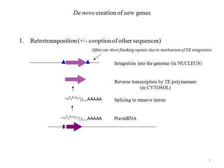 De novo creation of new genes 1.Retrotransposition (+/- cooption of other sequences) AAAAA Pre-mRNA AAAAA Splicing to remove intron Reverse transcription.