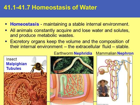 41.1-41.7 Homeostasis of Water  Homeostasis - maintaining a stable internal environment.  All animals constantly acquire and lose water and solutes,