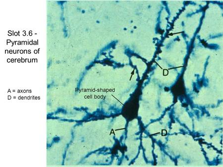 Slot 3.6 - Pyramidal neurons of cerebrum A = axons D = dendrites Pyramid-shaped cell body.