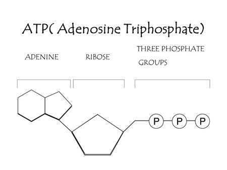 the importance of adenosine triphosphate to the organism Atp (adenosine triphosphate) atp is a nucleotide that performs many essential  roles in the cell it is the major energy currency of the cell, providing the energy.