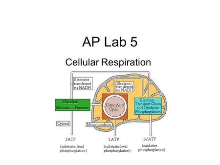 AP Lab 5 Cellular Respiration.