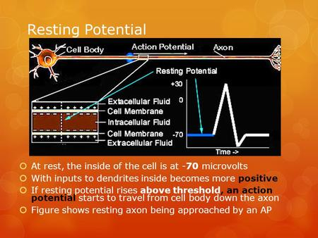 Resting Potential  At rest, the inside of the cell is at -70 microvolts  With inputs to dendrites inside becomes more positive  If resting potential.
