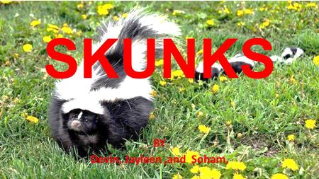 SKUNKS BY Devin, Jayleen,and Soham,. What Skunks Look Like Do you know what Skunks look like? Well I do! They are black and it has a white line in the.