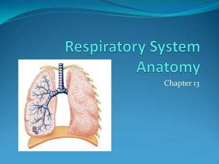 Chapter 13. Nose Air enters external nares (nostrils) Nasal cavity – interior Separated by nasal septum Lining – respiratory mucosa – moistens and warms.