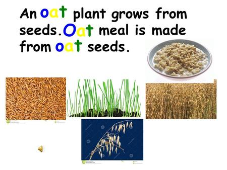 An plant grows from seeds. meal is made from seeds. oaoat OaOat oaoat.