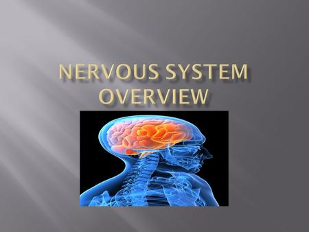  Central Nervous System (CNS)  Peripheral Nervous System (PNS)