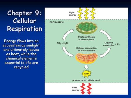 Chapter 9: Cellular Respiration Energy flows into an ecosystem as sunlight and ultimately leaves as heat, while the chemical elements essential to life.