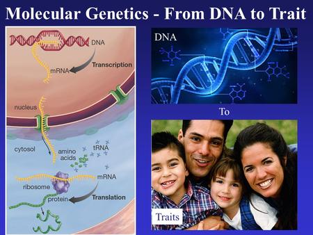 Molecular Genetics - From DNA to Trait Traits DNA To.