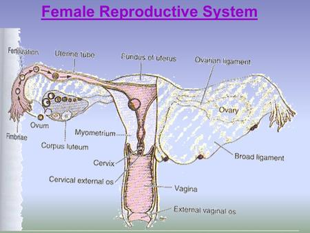 Female Reproductive System. Development of ovarian oocytes By 3 rd week of intra-uterine life oogonia appear. By 3 rd week of intra-uterine life oogonia.