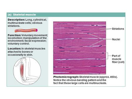 (a) Skeletal muscle Description: Long, cylindrical, multinucleate cells; obvious striations. Function: Voluntary movement; locomotion; manipulation of.