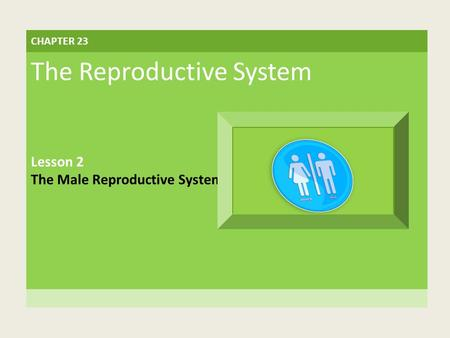 CHAPTER 23 The Reproductive System Lesson 2 The Male Reproductive System.