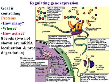 Regulating gene expression Goal is controlling Proteins How many? Where? How active? 8 levels (two not shown are mRNA localization & prot degradation)