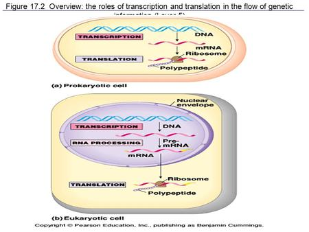 Figure 17.2 Overview: the roles of transcription and translation in the flow of genetic information (Layer 5)