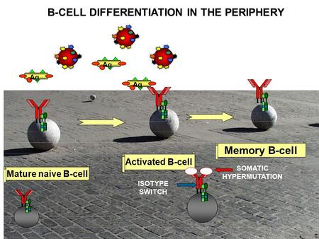 A a Activated B-cell Mature naive B-cell Memory B-cell B-CELL DIFFERENTIATION IN THE PERIPHERY SOMATIC HYPERMUTATION ISOTYPE SWITCH Ag.