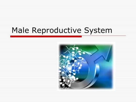 Male Reproductive System. Adolescence  Puberty  Burst of hormones activate maturation of the gonads: testes  Begins: 9 – 14 yrs of age  Abnormally.