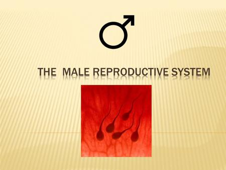  The entire male reproductive system is dependent on hormones. The primary hormones involved in the male reproductive system are follicle- stimulating.
