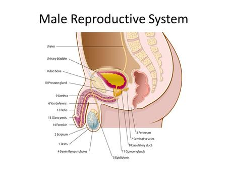 Male Reproductive System. Introduction The male sex cell is called a spermatozoon, or sperm cell. The sperm cell carries its nuclear hereditary material,