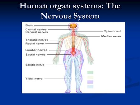 Human organ systems: The Nervous System. What is the purpose of the nervous system? The chief responsibility of the nervous system is to help the body.