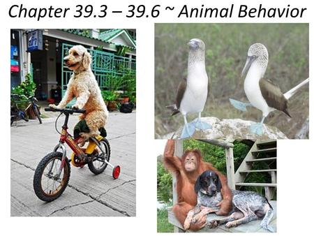 Chapter 39.3 – 39.6 ~ Animal Behavior. Ethology - study of animal behavior Behavior – everything an animal does and how it does it -response to environmental.