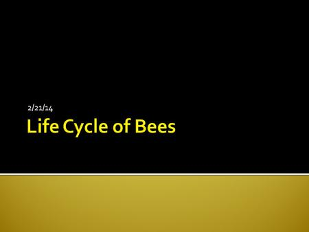 2/21/14.  Bees have yearly cycle  Winter die-off  Become active in spring  Peak late summer/early fall ▪ Queens mate  If virgin, queen mates.
