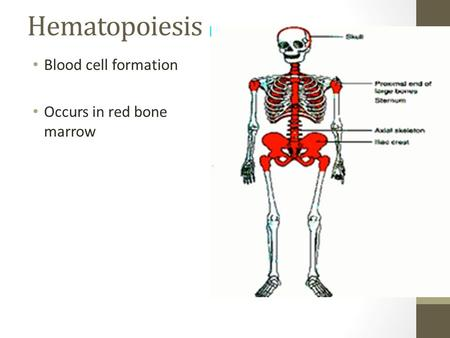 Hematopoiesis Blood cell formation Occurs in red bone marrow.