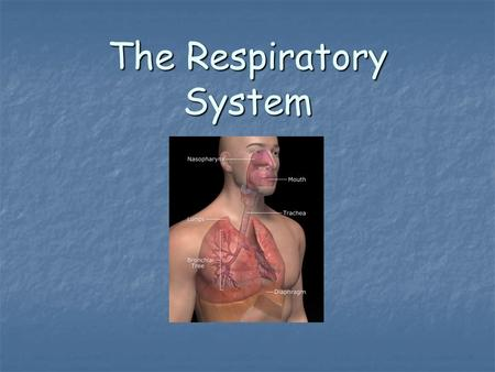 The Respiratory System. Function The main function of the Respiratory System is to get oxygen into the bloodstream and get carbon dioxide out of the bloodstream.